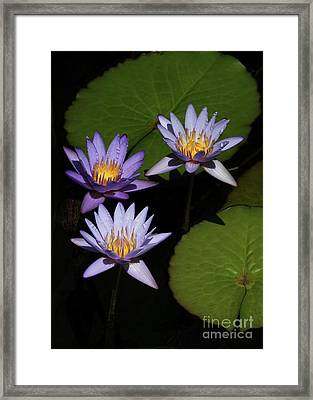 Trio Of Purple Water Lilies Framed Print by Sabrina L Ryan