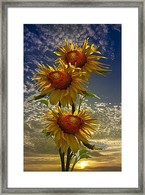 Trio Of Sunflowers Framed Print