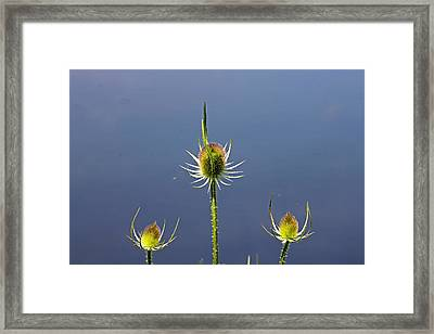 Trio Of Teasels Framed Print