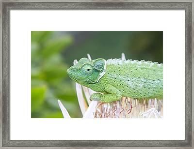 Trioceros Jacksonii - Jackson's Chameleon - Kula Maui Hawaii  Framed Print