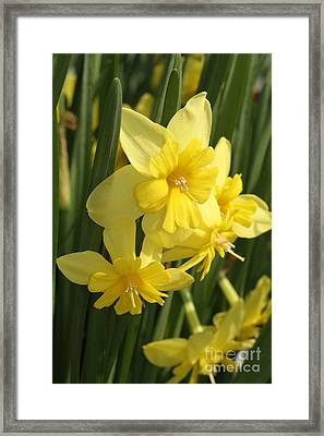 Tripartite Daffodil Framed Print