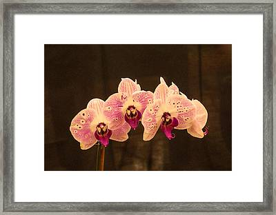 Triple Orchid Arrangement 1 Framed Print by Douglas Barnett