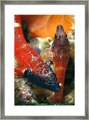 Triplefin Blennies Framed Print by Science Photo Library