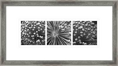 Triptych Allium Flower Framed Print by Alexander Senin
