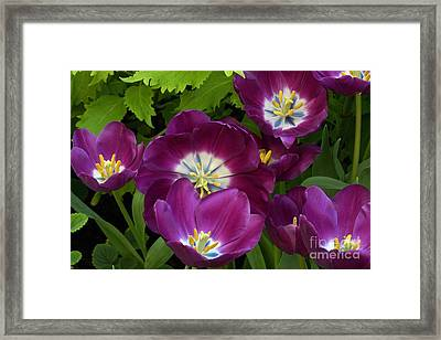 Triumph Tulips Negrita Variety Framed Print by Byron Varvarigos