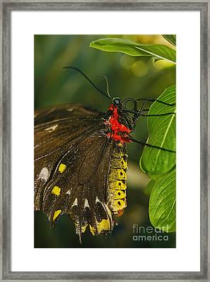 Framed Print featuring the photograph Troides Helena Butterfly  by Olga Hamilton