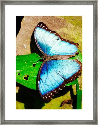 Tropical Blue Butterfly Framed Print