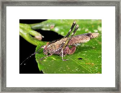 Tropical Bush-cricket Framed Print