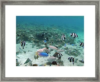 Tropical Fish, Malolo Lailai Island Framed Print by David Wall