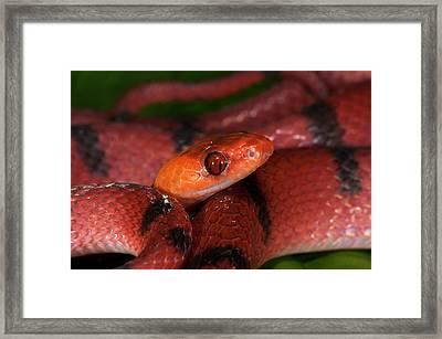 Tropical Flat Snake (siphlophis Framed Print