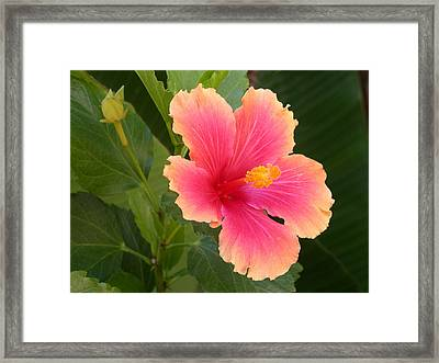Tropical Hibiscus Framed Print