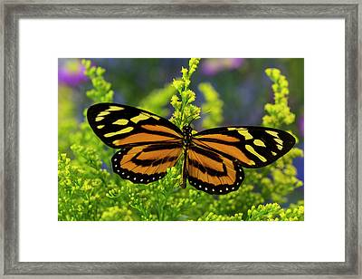 Tropical Milkweed Butterfly, Of Central Framed Print
