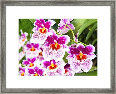 Tropical Miltoniopsis Purple Orchids Framed Print by Daphne Sampson