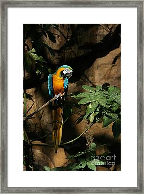 Tropical Parrot Framed Print by Judy Whitton