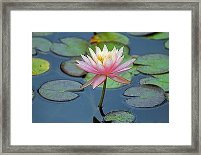 Tropical Pink Lily Framed Print