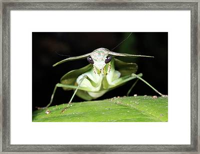 Tropical Shield Mantis Framed Print by Dr Morley Read