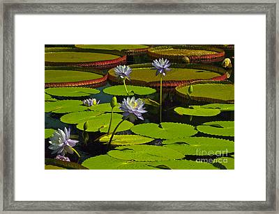 Tropical Water Lily Flowers And Pads Framed Print by Byron Varvarigos