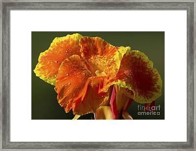 Tropicana Canna Lily Framed Print by Meg Rousher
