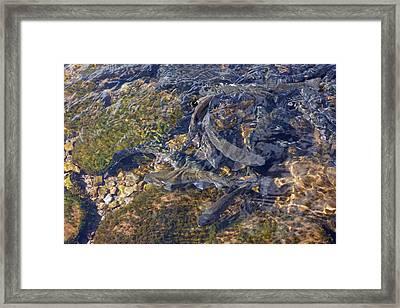 Trout Art Prints Creek Lake Trout Photography Framed Print by Baslee Troutman