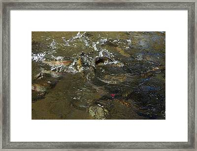 Trout Feeding Surface Rainbow Trout Art Prints Framed Print by Baslee Troutman