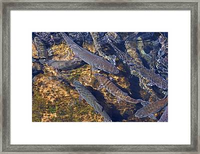 Trout Prints Rainbow Lake River Trout Framed Print by Baslee Troutman