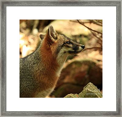 Truly Captivated By The Rare Grey Fox Framed Print