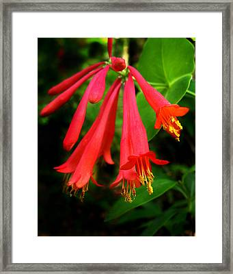 Wild Trumpet Honeysuckle Framed Print