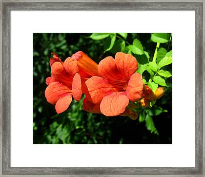 Framed Print featuring the photograph Wild Trumpet Vine by William Tanneberger