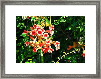 Trumpet Vine Framed Print
