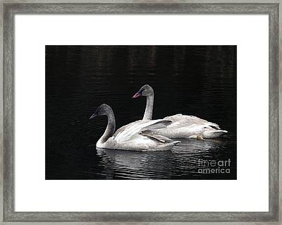 Trumpeter Swan Cygnets Framed Print by Sharon Talson