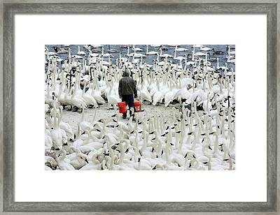Trumpeter Swan Feeding Time Framed Print by Amanda Stadther