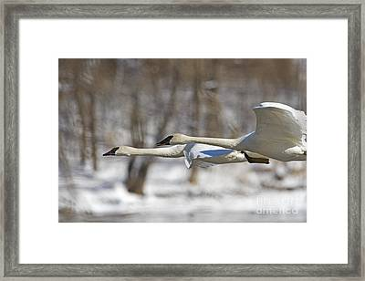 Trumpeter Swan Flyby  Framed Print