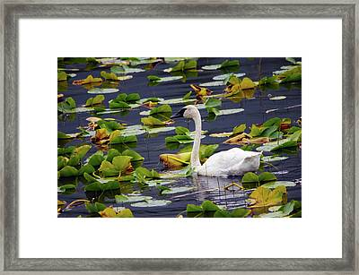 Trumpeter Swan In Lily Pods, Chugach Framed Print