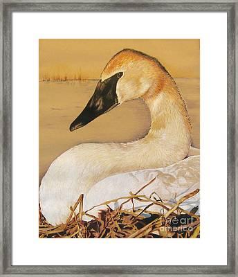Sold Trumpeter Swan Framed Print