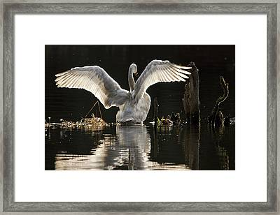 Framed Print featuring the photograph Trumpeter Swan Stretch by Inge Riis McDonald