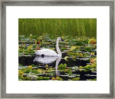 Trumpeter Swan Swimming In Lily Pods Framed Print