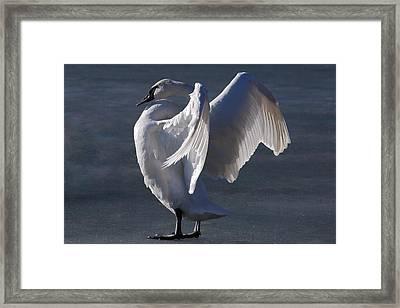 Trumpeter Swan - Zeus Framed Print by Joy Bradley