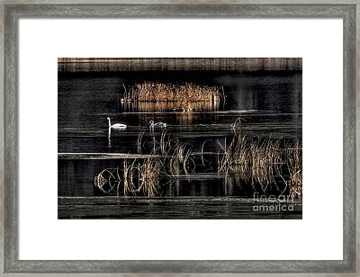 Trumpeter Swans A Swimming Framed Print