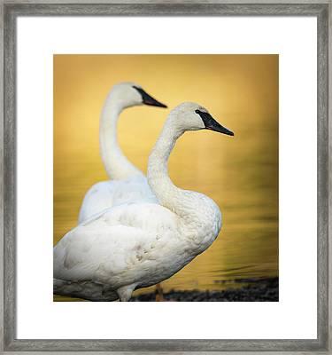Trumpeter Swans, Cygnus Buccinator Framed Print