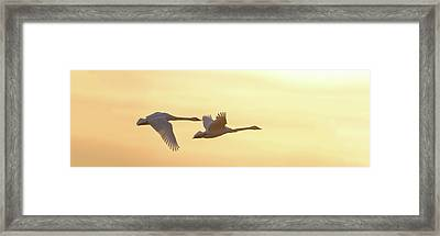 Trumpeter Swans In Flight At Sunset Framed Print