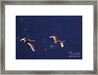 Trumpeter Swans In-flight Framed Print by Sharon Talson