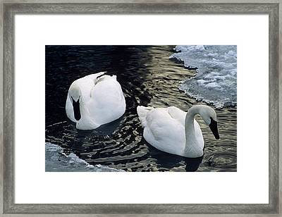 Trumpeter Swans Swim In Ice Covered Framed Print