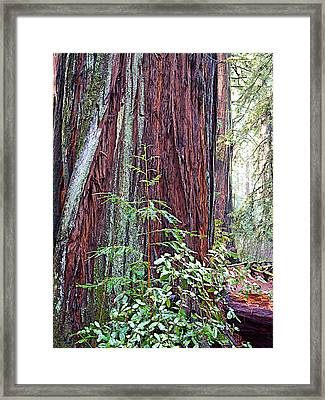 Trunk Of Coastal Redwood In Armstrong Redwoods State Preserve Near Guerneville-ca Framed Print by Ruth Hager
