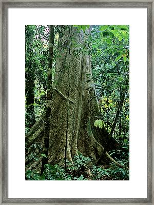 Tualang Buttress Roots Framed Print