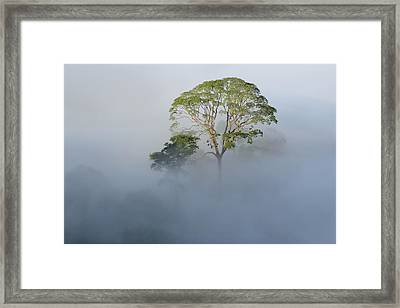Tualang Tree Above Rainforest Mist Framed Print by Ch'ien Lee
