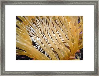 Tube Anemone  Framed Print by Sami Sarkis