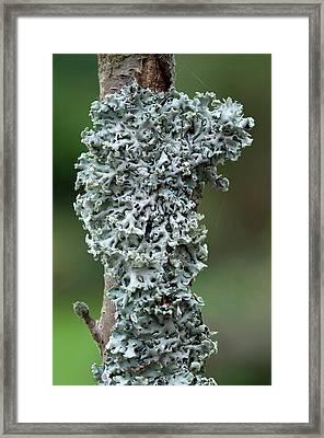 Tube Lichen Framed Print by Nigel Downer