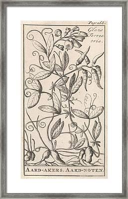 Tuberous Pea, Caspar Luyken, Jan Claesz Ten Hoorn Framed Print