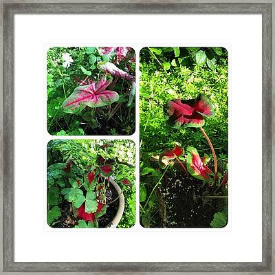 Tucked In A Few #caladium #plants This Framed Print