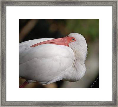 Framed Print featuring the photograph Tuckin' by Barbara MacPhail
